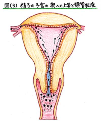 頸管粘液と精子遡上3